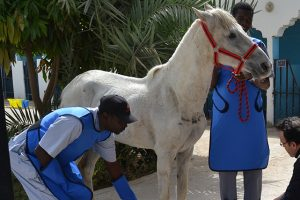 Horse being x-rayed in Mauritania
